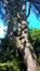 Pin noir d'Autriche – Uccle, Jardin de la maison Grégoire, Dieweg, 292 –  18 Juillet 2016