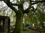 Hêtre pleureur – Bruxelles, Cimetière de Laeken, cimetière –  18 Octobre 2013
