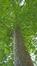 Platane à feuille d'érable – Evere, Cimetière de Bruxelles –  11 Août 2016