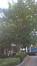 Ptérocaryer à feuilles de frêne