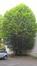 Carpinus betulus f. fastigiata