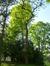 Robinier faux-acacia