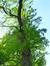 Gewone acacia – St.- Agatha - Berchem, Dilbeekstraat, 454 –  16 Mei 2017