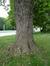 Acer saccharinum var. laciniatum – Bruxelles, Parc d'Osseghem –  24 Mai 2017