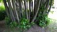 Tilleul à larges feuilles – Forest, Abbaye de Forest –  07 Juin 2017