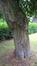 Hêtre pleureur – Forest, Abbaye de Forest –  12 Juin 2017