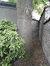 Frêne commun – Forest, Rue de Mérode, 444 –  11 Août 2017