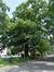 Chêne rouge d'Amérique