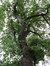 Chêne pédonculé – Watermael-Boitsfort, Karrenberg, 53 –  06 Septembre 2017