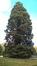 Sequoia géant – Woluwé-Saint-Pierre, Parc de Woluwe –  09 Juillet 2013