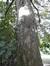 Erable sycomore – Saint-Gilles, Avenue Edouard Ducpétiaux, 106 –  21 Septembre 2017