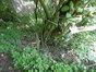 Syringa vulgaris – St.- Gillis, Edouard Ducpétiauxlaan, 106 –  21 September 2017