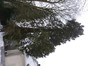 Mammoetboom – Brussel, Franklin Rooseveltlaan, 115 –  18 Januari 2013