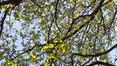Aulne à feuilles cordées – Ganshoren, Ancien Cimetière de Ganshoren –  18 Avril 2018