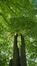Tilleul à petites feuilles – Uccle, Avenue des Sorbiers, 3 –  26 Avril 2018