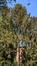 Epicea commun – Uccle, Avenue des Sorbiers, 5b –  26 Avril 2018