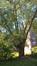 Saule blanc – Jette, Drève de Rivieren –  15 Mai 2019