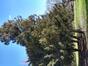 Cèdre de Tasmanie