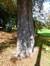 Marronnier commun – Bruxelles, Parc public de Laeken –  10 Septembre 2014