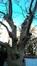 Frêne à fleurs/plumeux – Forest, Avenue Everard, 22 –  21 Janvier 2020