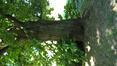 Châtaignier – Woluwé-Saint-Pierre, Parc de Woluwe –  02 Juin 2020