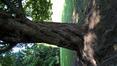 Erable rouge, érable de Virgine. – Woluwé-Saint-Pierre, Parc de Woluwe –  02 Juin 2020