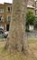 Gewone plataan – Sint-Jans-Molenbeek, Bevrijderssquare –  16 Juni 2020