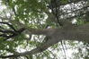 Chêne sessile