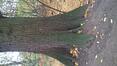 Chêne pédonculé – Bruxelles, Bois de la Cambre –  19 Novembre 2020
