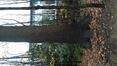 Chêne pédonculé – Bruxelles, Bois de la Cambre, Chemin de l'Aube –  01 Décembre 2020