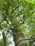 Fraxinus angustifolia 'Raywood' – Bruxelles, Parc public de Laeken –  09 Octobre 2014