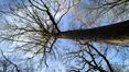 Erable sycomore – Bruxelles, Bois de la Cambre –  04 Février 2021