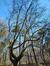 Platane à feuille d'érable – Auderghem, Forêt de Soignes
