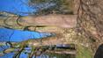 Chêne pédonculé – Uccle, Kauwberg –  23 Mars 2021