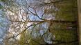 Platane à feuille d'érable – Bruxelles, Bois de la Cambre –  20 Avril 2021