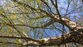 Bouleau verruqueux – Uccle, Kauwberg –  27 Avril 2021