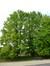 Magnolier à feuilles acuminées