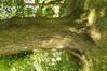 Tilleul à larges feuilles – Watermael-Boitsfort, Avenue des Nymphes, 56-58