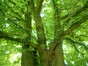 Magnolier à feuilles acuminées – Bruxelles, Parc public de Laeken –  10 Août 2012