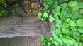 Tilleul à petites feuilles – Bruxelles, Chaussée de Vleurgat, 112 –  24 Juin 2021