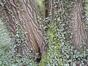 Peuplier grisard – Uccle, Kinsendael –  29 Juin 2021