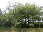 Erable à feuilles de frêne