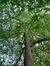 Platane à feuille d'érable – Bruxelles, Parc du Cinquantenaire –  29 Juillet 2021