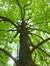 Magnolier à feuilles acuminées – Bruxelles, Parc public de Laeken –  03 Octobre 2014