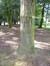 Epicea d'Orient – Bruxelles, Parc public de Laeken –  02 Octobre 2014