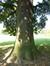 Chêne pubescent – Bruxelles, Parc public de Laeken –  03 Octobre 2014