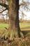 Chêne pubescent – Bruxelles, Parc public de Laeken –  17 Décembre 2020