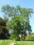 Gewone acacia