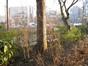 Noisetier de Byzance – Bruxelles, Parc Léopold –  01 Février 2012