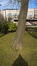 Japanse notenboom – Brussel, Leopoldpark –  09 Maart 2016